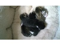 5 Beautiful Fluffy Kittens for Sale