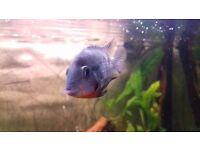 firemount cichlid fish