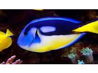 Yellow Belly Regal Tang - Marine