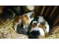 Gorgeous guinea pig babies