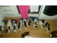 beautiful kc registered liver & white springer spaniel puppies pups