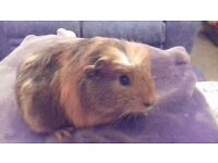 "2 beautiful guinea pigs for sale must go together ""updated"""