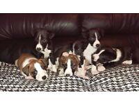Bedlington Lurcher Bearded Collie x Whippet Puppies
