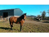 16 /3 hand mare for part loan mostly at weekends