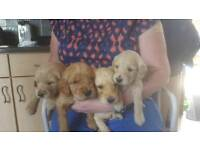 For Sale Goldendoodle Puppies