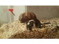 Female gerbils free to good home