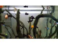 FREE black Molly and Platy babies and juveniles, male and female available