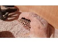 Leopard gecko lizard with vivarium tank and everything needed
