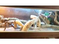 Bearded dragon FOR SALE need gone ASAP