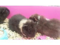 Young fancy guinea pigs for sale
