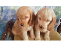 Cocer Spaniel puppies