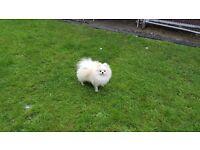 Pomeranian Female KC Registered