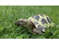 MISSING TORTOISE family pet, 26/7/16 from 10 lilac close Wisbech. Please call 01945 587077 if found