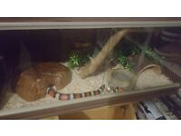 Pueblan Milk Snake with FULL SETUP complete with food, bedding and stand!