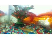 4-5 inch aquarium tank fish pair with golden loach