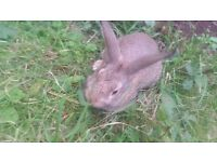 Male rabbits £5 each