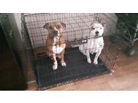American bulldog cross staffy male and female