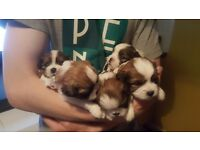 Shih tzu puppies for sale 2 boys and 2 girls left. £500