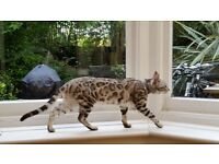 Lost / Possibly Stolen Silver Bengal