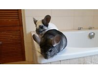 Two Male Chinchillas In Need Of A New Home