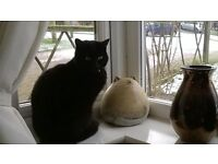 Missing Black Cat - Coulby Newham area Middlesbrough - microchipped / wearing camouflaged collar