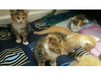 Bengal cross kittens ginger and tortuous shell