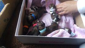 Shitzu/lasapso puppies for sale