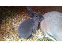 Baby mini rex rabbits