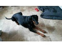 Female Doberman pet