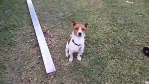 Jack Russell Quinns Rocks Wanneroo Area Preview
