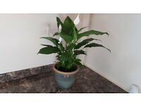 Peace Lily house plant in ceramic pot