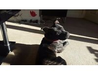 18 month old staffordshire bull terrior(staffy)