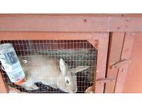 Female rabbit free to good home