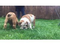 British bulldog puppies 9 weeks old excellent pedigree