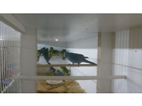 kakarikis for sale. blues and split blues and buttercups