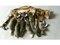 Beautiful bengal kitten's