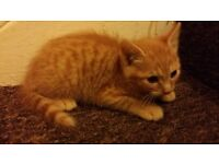 fluffy 100% ginger male kitten, very friendly, litter trained, play with children