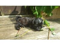 5 Shih Tzu Puppies - Ready to go **Non-Malting** Great with kids and other pets **ready to go**