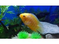 Large tropical golden severum chiclid