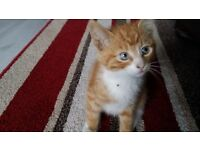 Very handsome ginger male kittens for sale