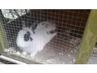 Male semi dwarf rabbit