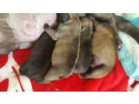 Kc reg french bulldogs pups