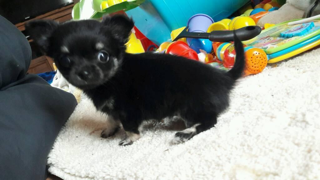 Chihuahua female pup