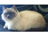 Bluepoint ragdoll female