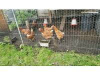 6 chickens very good lay eggs