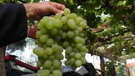 grape vine from cyprus white variety producing large and sweet grapes in 1 litre pot