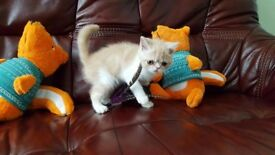 Adorable exotic shorthair kittens available with pedigree certificates and GCCF registration