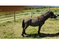 Shetland yearling filly horse pony