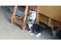 I have an 8 week black and white tabby kitten for sale. Ready to leave