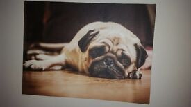Pug canvas picture from Next £5